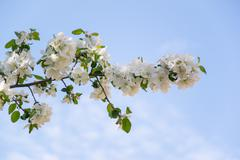 The blossoming apple-tree - stock photo