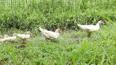 Duck family walking on farm - stock footage