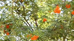 rowan berries at rowan tree - stock footage