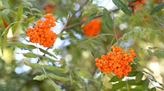 Rowan berries at rowan tree Stock Footage