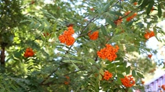 Stock Video Footage of rowan berries at rowan tree