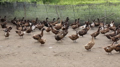 Domestic Duck in farm Stock Footage