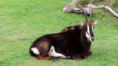Sable antelope that lives in South Africa - stock footage