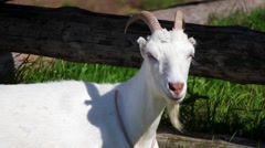 Close up goat on the farm Stock Footage