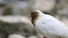 Closeup of white pigeons Stock Footage