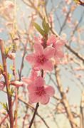 Stock Photo of Peach trees in bloom.