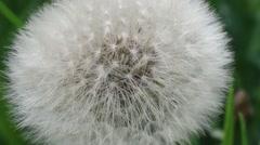 Dandelion Being Blown By Wind - stock footage