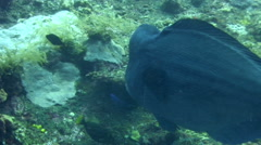 Humphead or bumphead parrotfish (Bolbometopon muricatum) eating coral Stock Footage