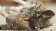 Dead mouse being eaten by flies in bright environment Stock Footage