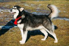 Beautiful Alaskan Malamute Dog Outdoor - stock photo