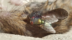 Dead mouse being eaten by flies in bright environment - stock footage