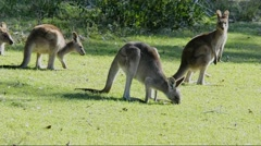 Mob of Australian Kangaroos Stock Footage