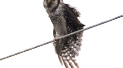 (northern) hawk owl -Surnia ulula - in sweden Stock Footage