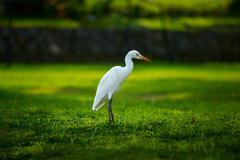 White heron-Egretta garzetta on the green meadow - stock photo