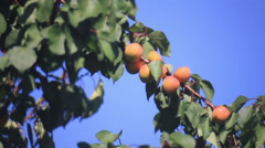 Apricot fruits on twig Stock Footage