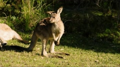 Australian Kangaroo, Eastern Grey. Stock Footage