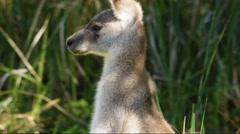 Australian Eastern Grey Kangaroo, standing. Stock Footage