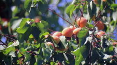 Apricots on branchlet Stock Footage