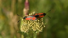 Red and Black Bugs Sitting on a Plant Stock Footage
