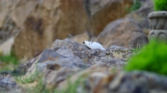 Small White Bird Feeding in the Rocks Stock Footage