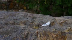 White Bird Feeding on the Rocks Stock Footage