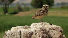 Burrowing Owl Perched in Wilderness Stock Footage