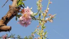 Stock Video Footage of Prunus persica tree flowers in front of blue sky 4K 3840X2160 UltraHD footage