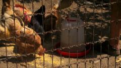 Chickens feeding Stock Footage