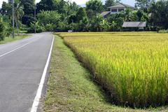 rice filed and street next to each other - stock photo
