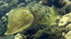 Stock Video Footage of Broadclub cuttlefish (Sepia latimanus)