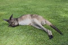 Kangaroo sleeping on a grass Stock Photos