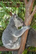 Koala sitting in a tree Stock Photos