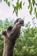 Stock Photo of Camel reaching for tree leaves