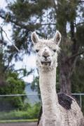Portrait of an alpaca - stock photo