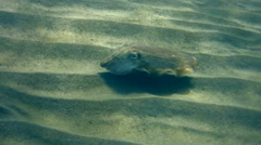 Broadclub cuttlefish (Sepia latimanus) changing coclor Stock Footage
