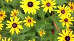 Stock Video Footage of Flowers rudbeckia shiny (Rudbeckia fulgida) in the summer garden