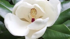 Beautiful white magnolia flower in a garden close-up Stock Footage