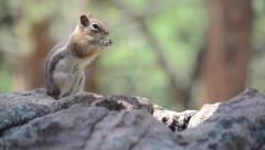 Chipmunk Eating Stock Footage