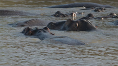 A herd of Hippos lying in the water Stock Footage