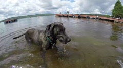 Hunting Dog playing fetch in the water at the cottage Stock Footage