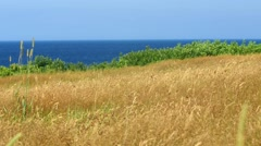Beautiful golden grass blows in strong wind over ocean Stock Footage