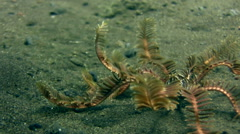 Feather star walking Stock Footage
