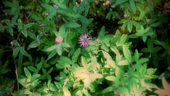Red clover in forest Stock Footage