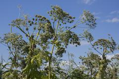 giant hogweed, Heracleum mantegazzianum - stock photo