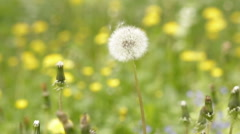 Dandelion seeds blowing away Stock Footage