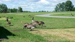 Group of Canadian geese eat grass at park Stock Footage