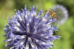 Bee on purple thistle or Echinops bannaticus - stock photo