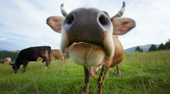 Funny cow grazing on mountain meadow Stock Footage