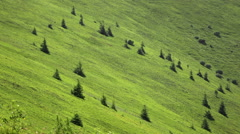 Green hillside with small fir trees Stock Footage
