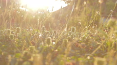 Grass in backlight of sun. Low angle. Yellow. Stock Footage